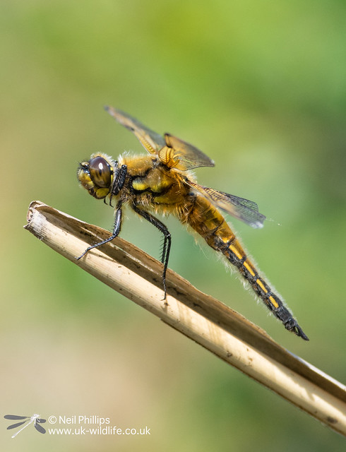 4 spotted chaser-5