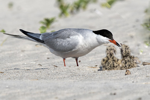 Nickerson Beach: Common Tern and Chicks