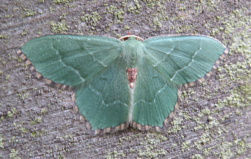 Common Emerald Hemithea aestivaria Tophill Low NR, East Yorkshire June 2017