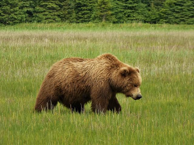 Oso en Alaska que bien podríamos ver en Kamchatka