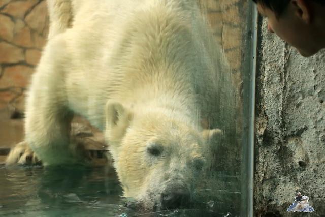 Eisbär Fiete im Zoo Sosto 30.05.2017 121