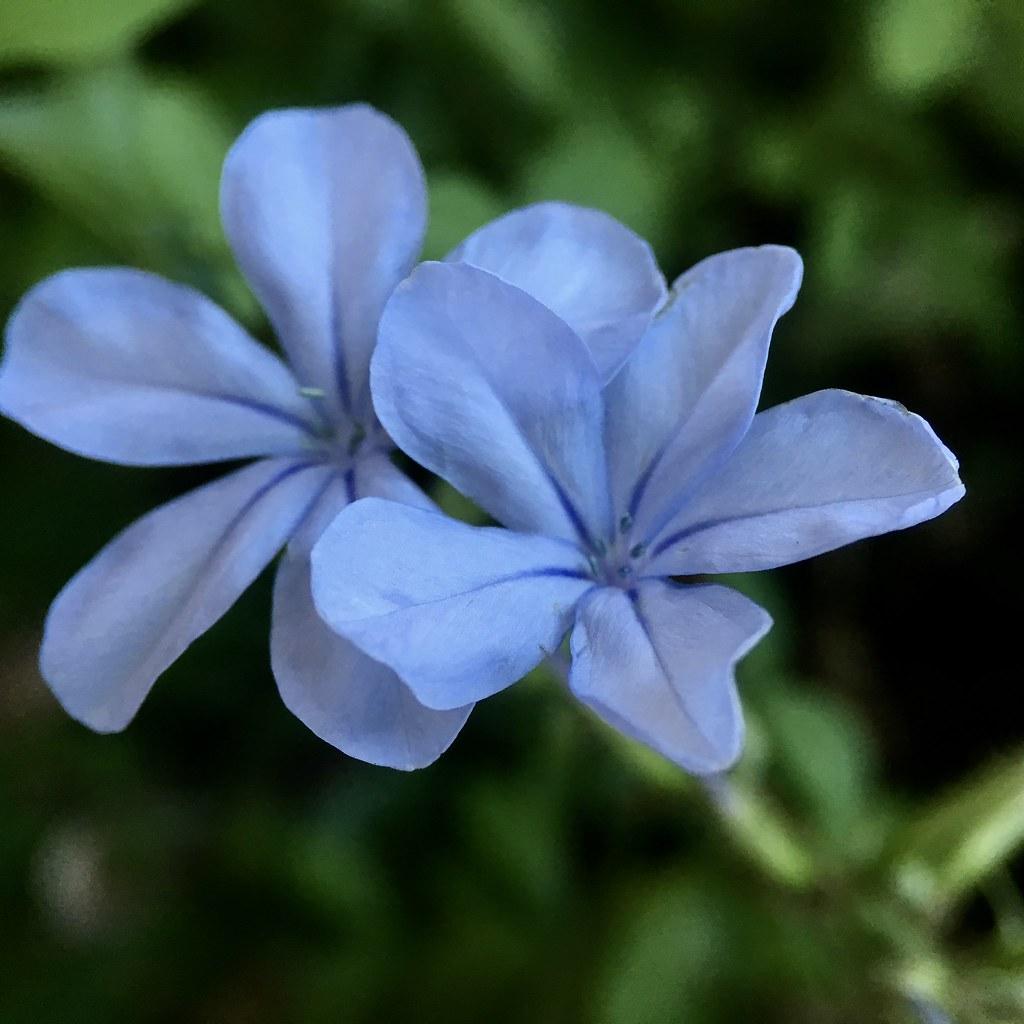 Light Purple Flowers Jan Sierpe Flickr
