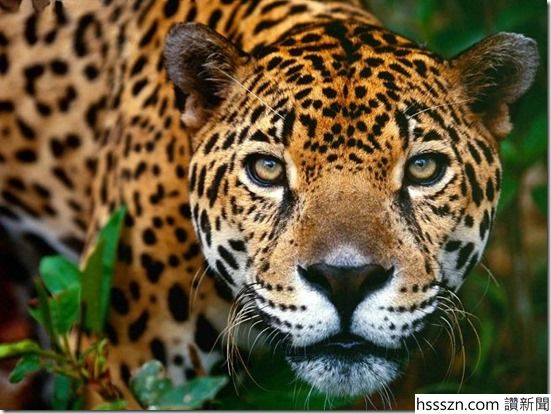 Jaguar_thumb_551_414