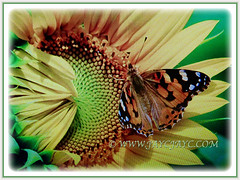 Attractive butterfly on Helianthus annuus (Common Sunflower, Comb Flower, Golden Flower, St Bartholomew's Star), 21 June 2017