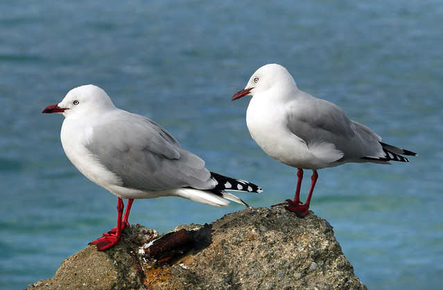 Red-billed gull. (Larus novaehollandiae scopulinus)