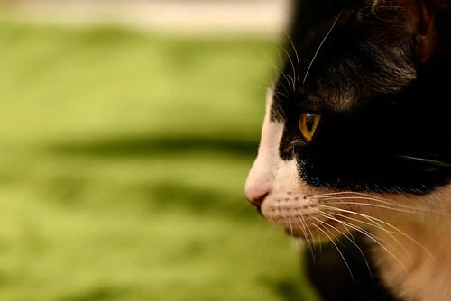 Clooney, gatito blanquinegro muy guapo con perilla, apto para perros y esterilizado nacido en Enero´17, en adopción. Valencia. ADOPTADO. 34689940920_5f38892ba4