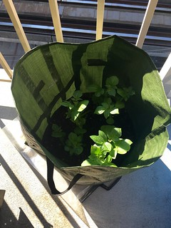 Potato plants are growing!