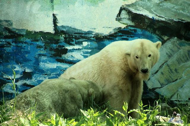 Eisbär Fiete im Zoo Sosto 29.05.2017 177