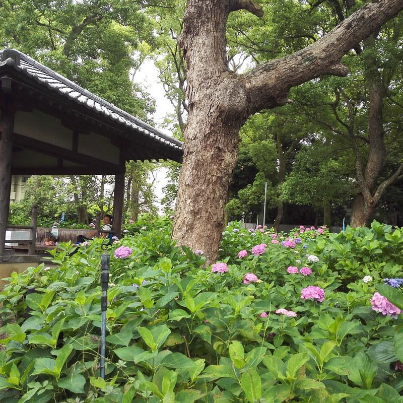 藤森神社のあじさい苑