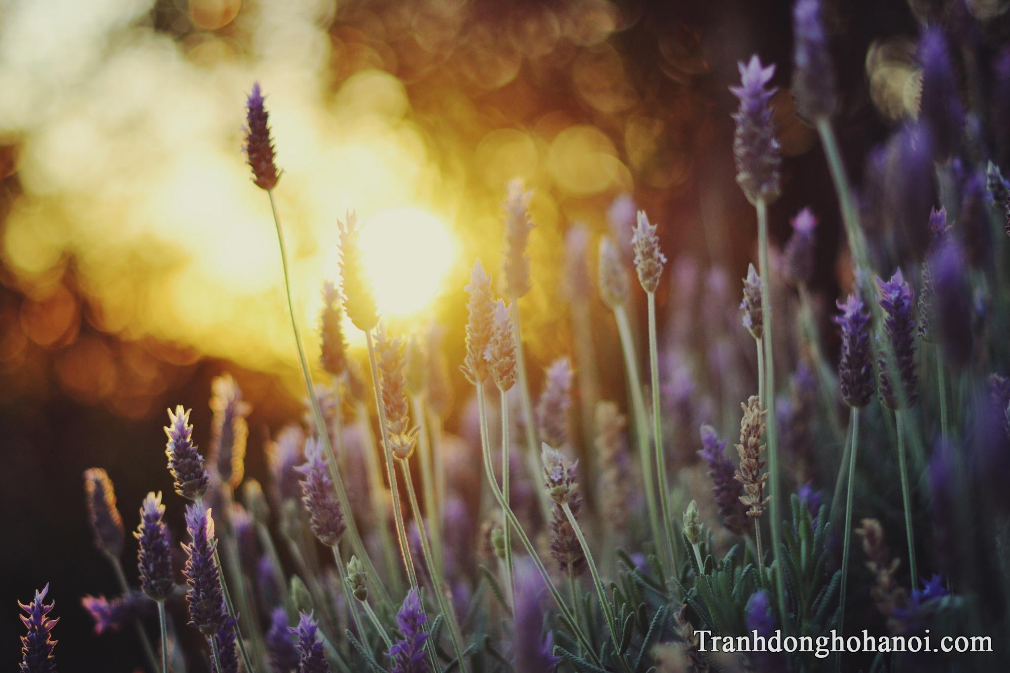 Hinh anh hoa lavender oai huong lung linh trong nang chieu