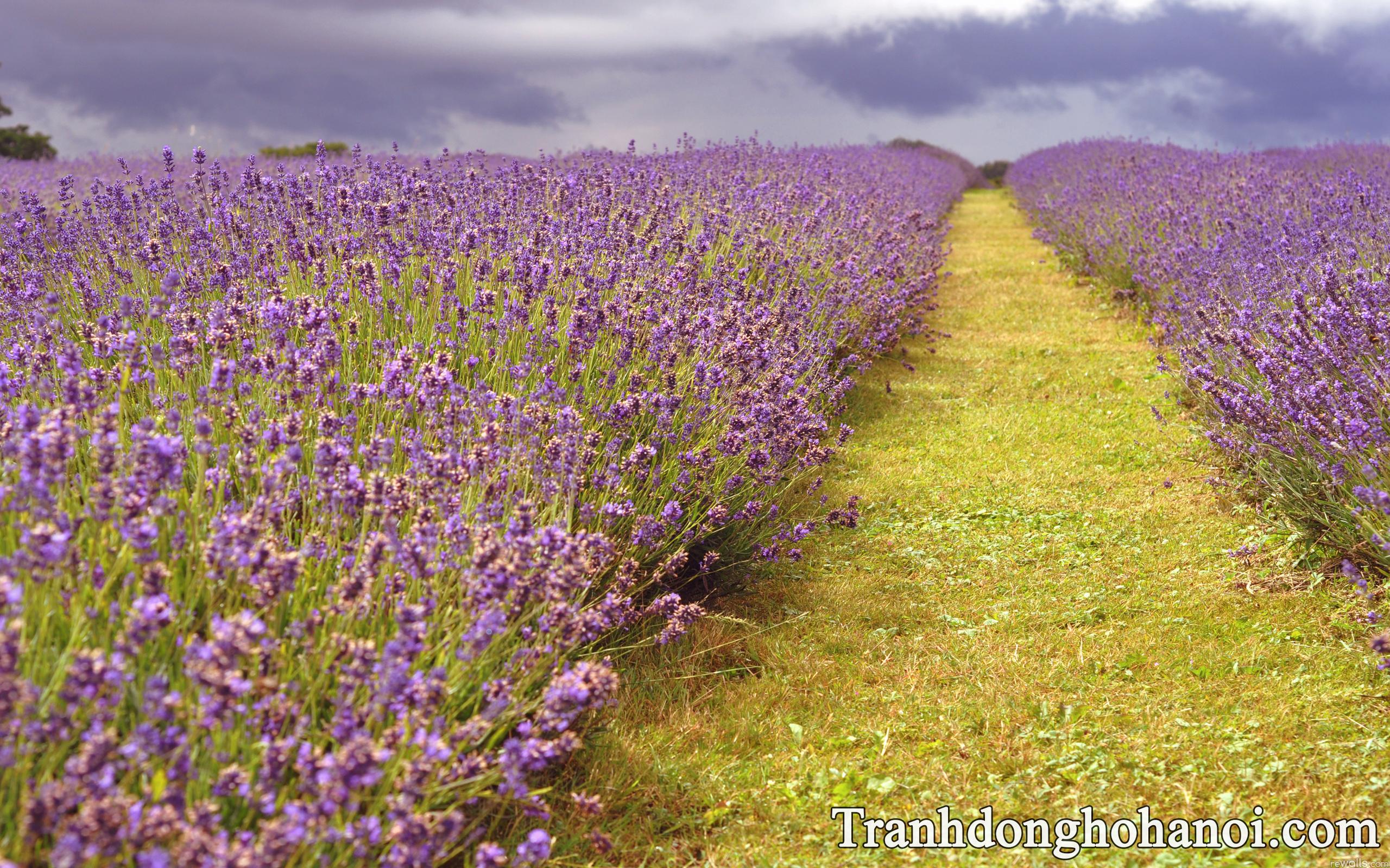 Hinh nen hoa lavender cho dien thoai AmiA