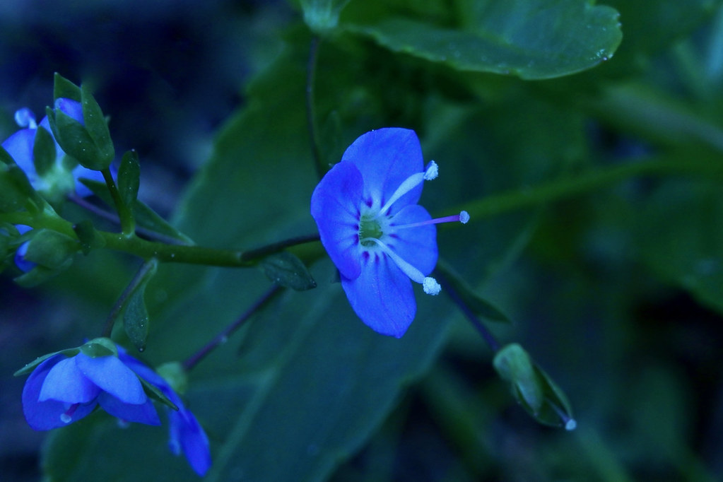 Bird-eye Speedwell, Persian Speedwell