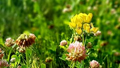 Yellow vetch and red clover