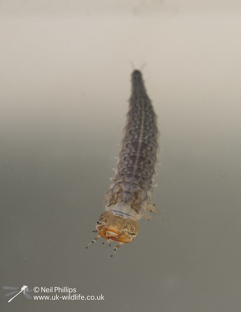 Great silver water beetle larva-2