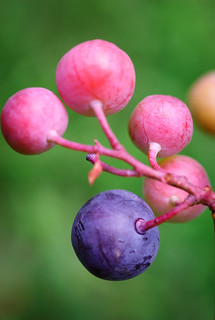 Blueberries Closeup | by ChristianRock