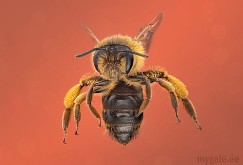 Bee In Flight | by mygale.de