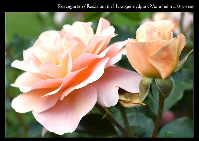 Rosengarten / Rosarium Herzogenriedpark Mannheim, Juni 2017 ... Fotos und Collagen: Brigitte Stolle