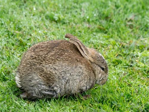 nasses Kaninchen