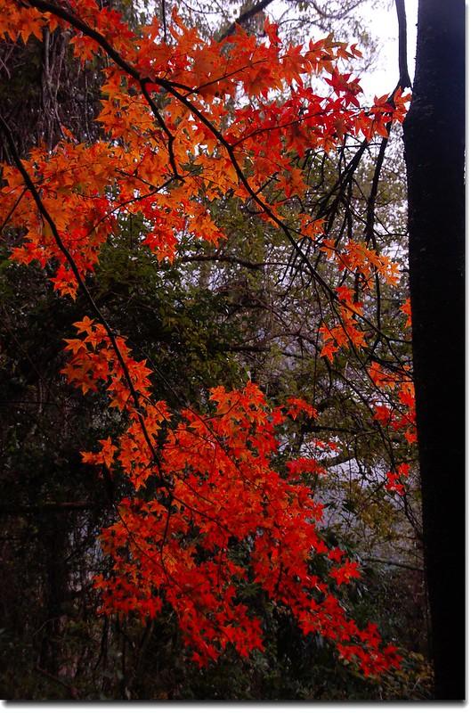 霞喀羅楓紅 3