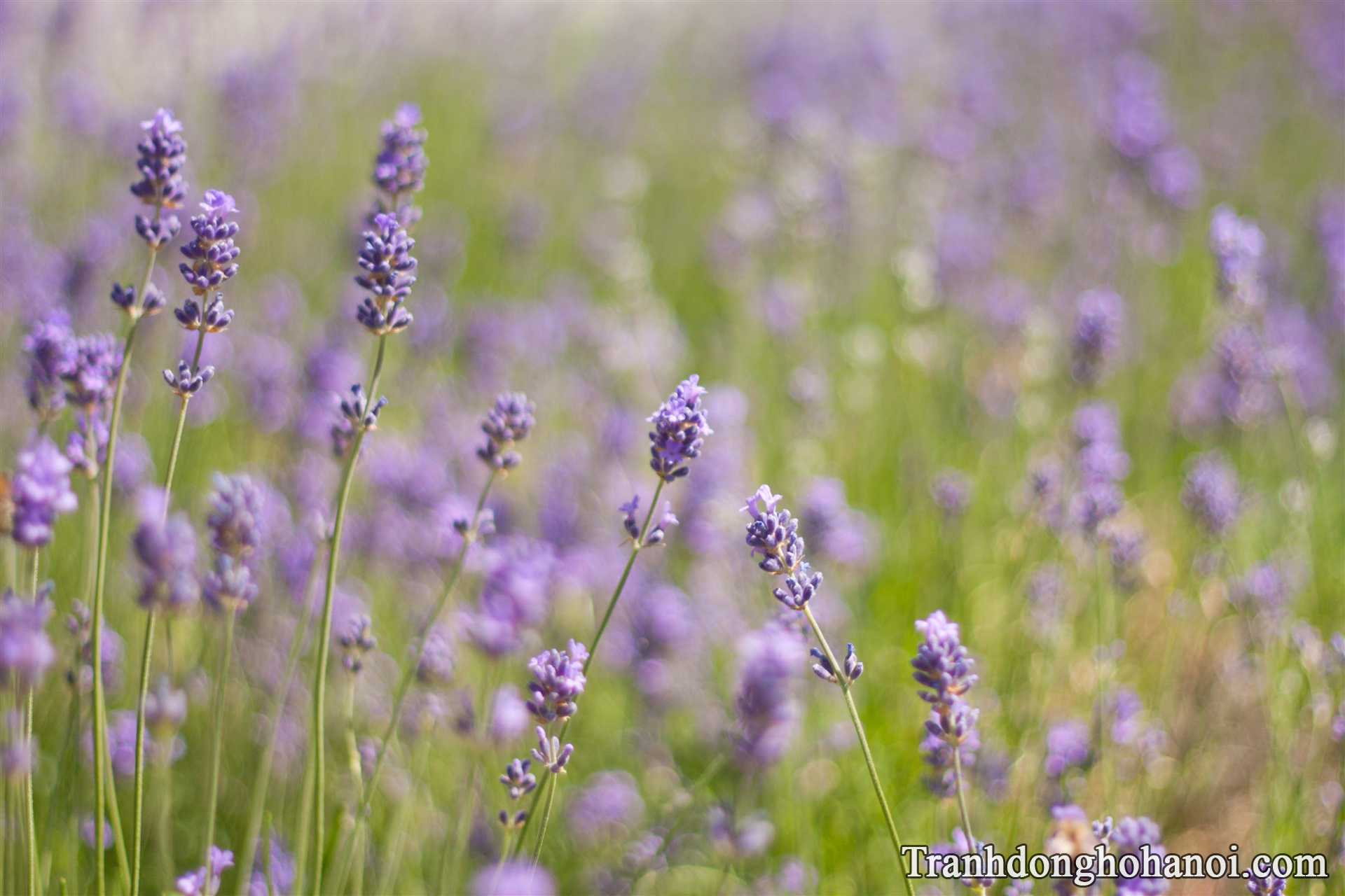 Free stock photos of lavender AmiA