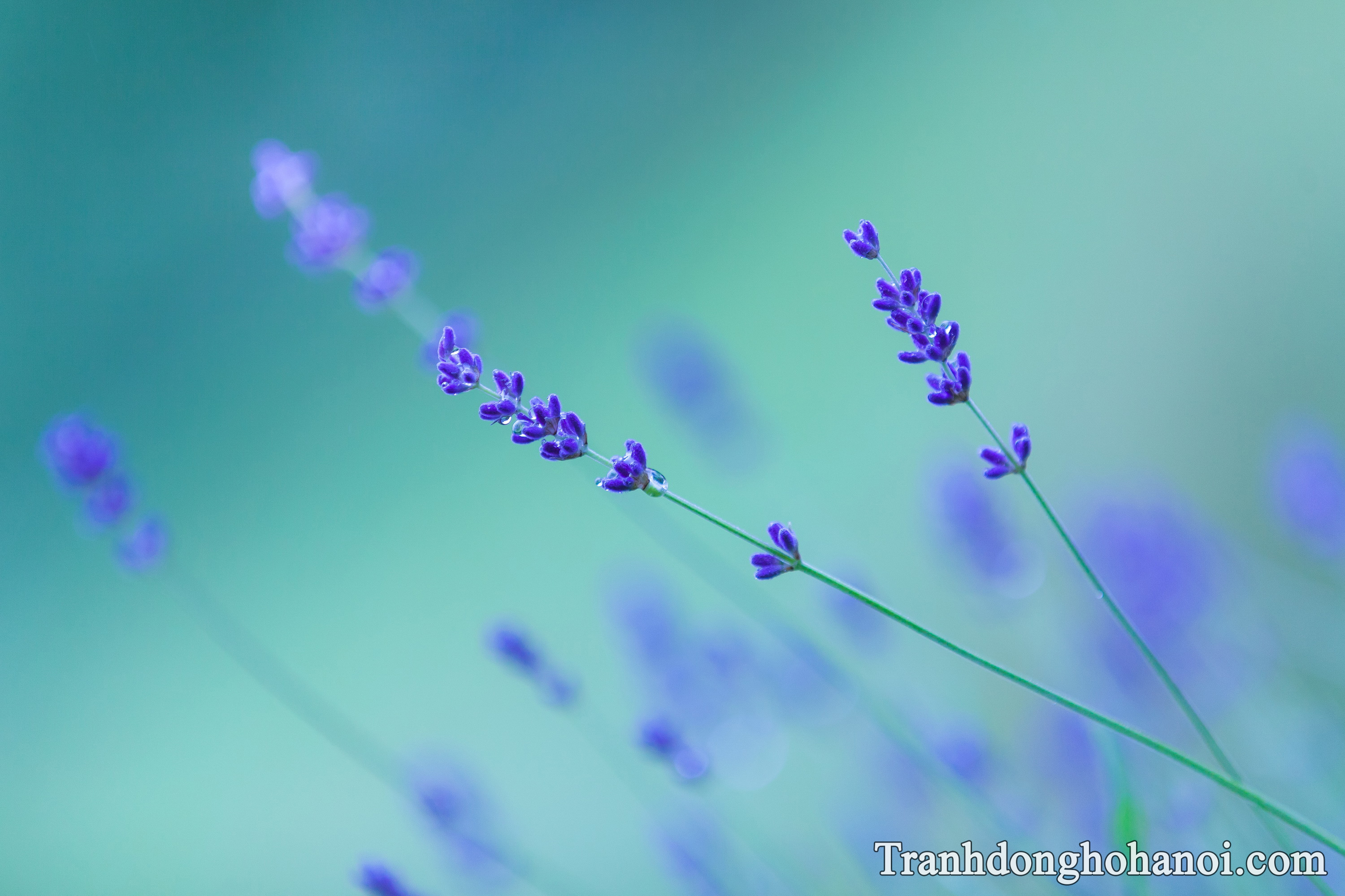 Beautiful lavender flowers hd wallpaper AmiA