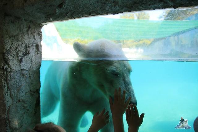 Eisbär Fiete im Zoo Sosto 29.05.2017 152
