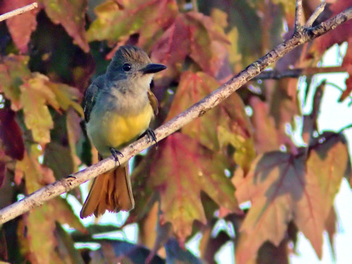Great Crested Flycatcher 03-20170616