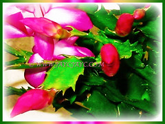 Schlumbergera truncata (Christmas Cactus, Thanksgiving/Holiday Cactus, Zygocactus, Crab Cactus) with showy flowers and strongly flattened segments, 5 Aug 2005
