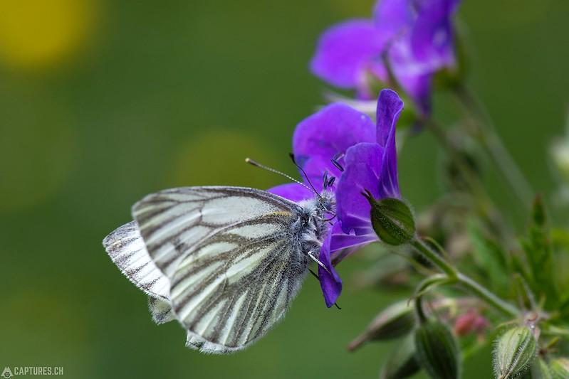 Butterfly 2 - Berner Oberland
