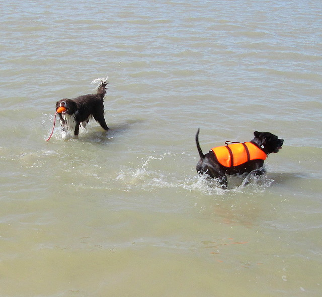 dogs swimming 2