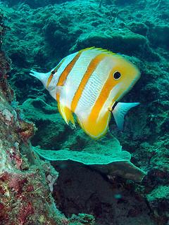 "<img src=""padi-fun-diving-nort-point-tioman-island-malaysia.jpg"" alt=""PADI fun diving, North Point, Tioman Island, Malaysia"" />"