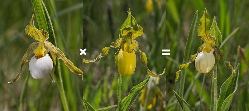 Two parent orchids and the resulting hybrid cross