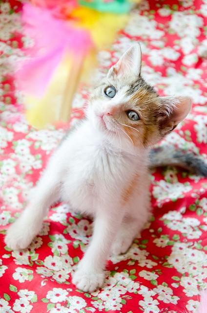Lorna, monísima tricolor jaspeada nacida en Abril´17, en adopción. Valencia. ADOPTADA. 34969277712_145d334cf8_z