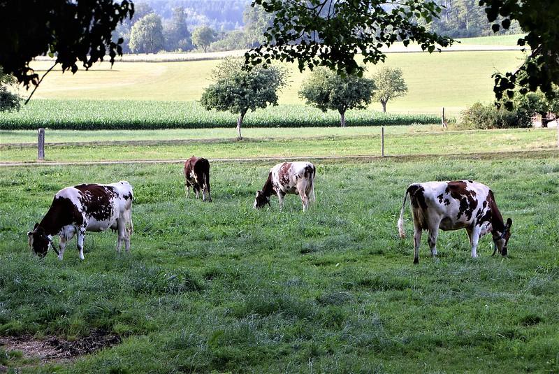Cows 24.06 (1)
