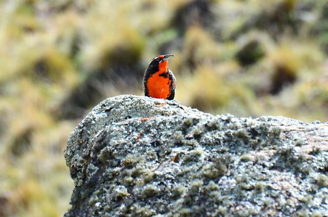 Peruvian Meadowlark, Valle Lunar, Chile Chico, Chile