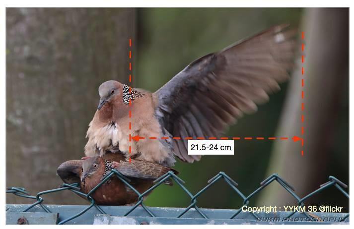 鳥類交配時都會呈現這種姿勢,雌鳥在下、雄鳥在上。那對斑鳩在錯誤的電線上交配,碰巧當天12時無雨、風大、太陽大、氣溫28度、溼度50∼60%,交配到一半雄鳥舉起翅膀,一陣火花就炸了。(修改自來源圖片)