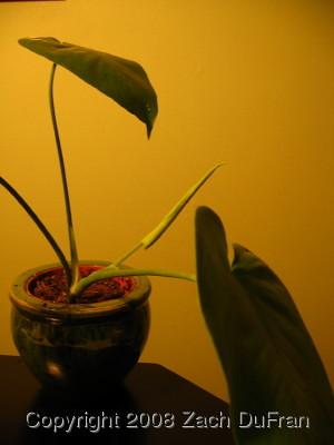 borsigiana_growth_yellow
