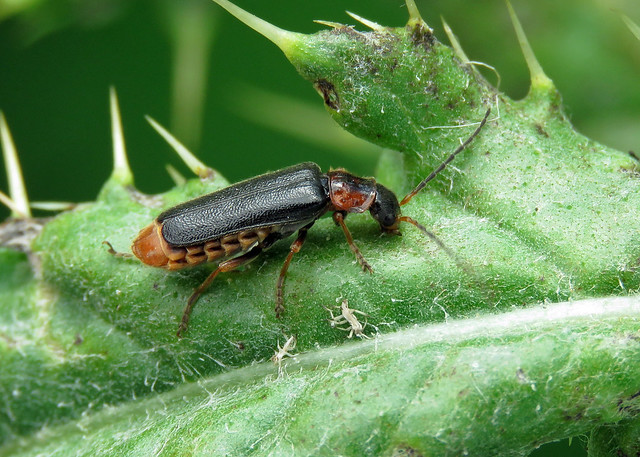 Cantharis nigra