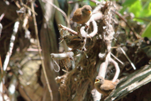 2 Wren Chicks + parent