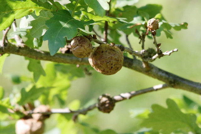 Oak Galls