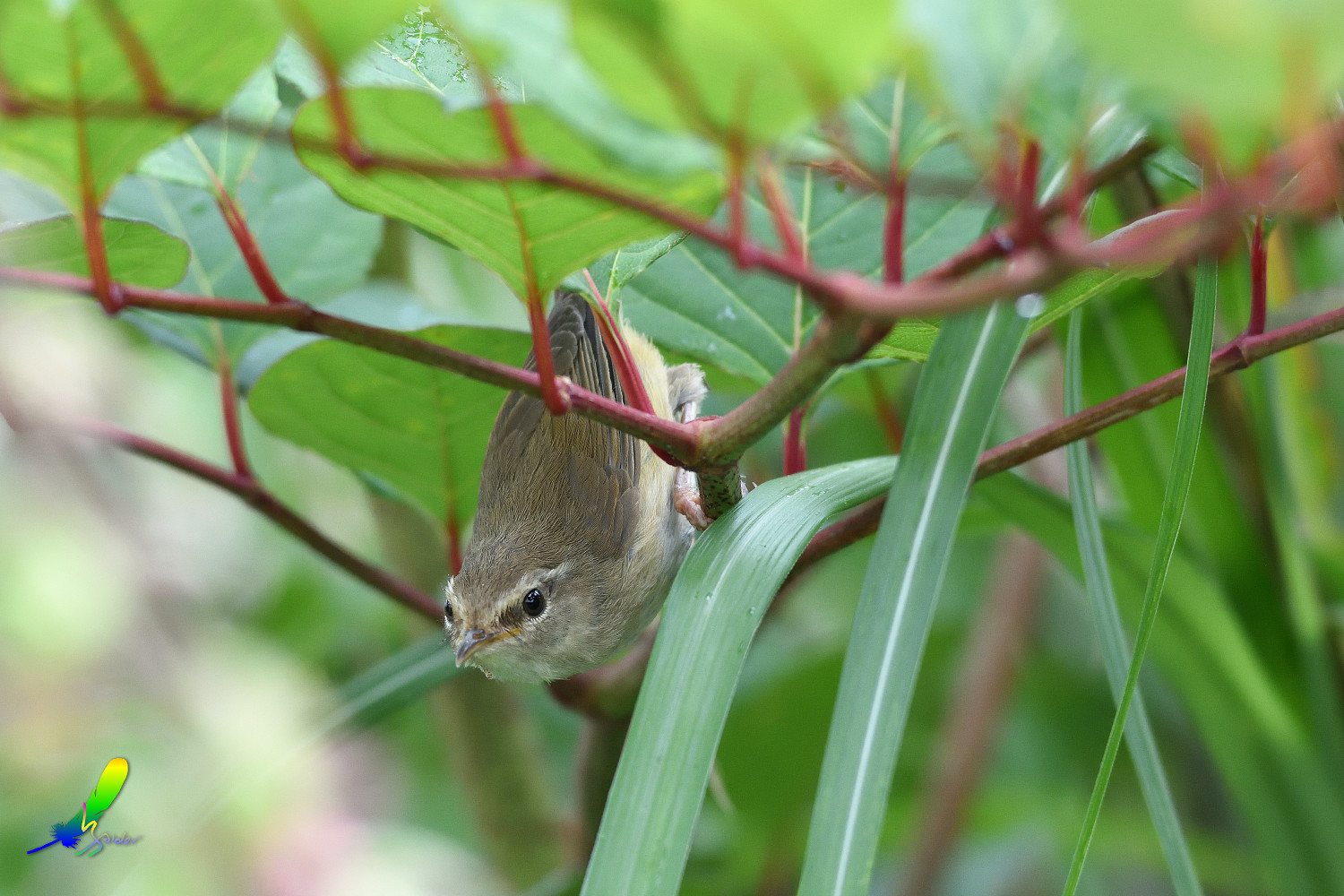 Strong-footed_Bush_Warbler_4165