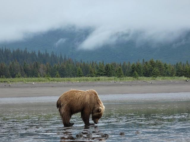 Oso pardo de costa en Alaska