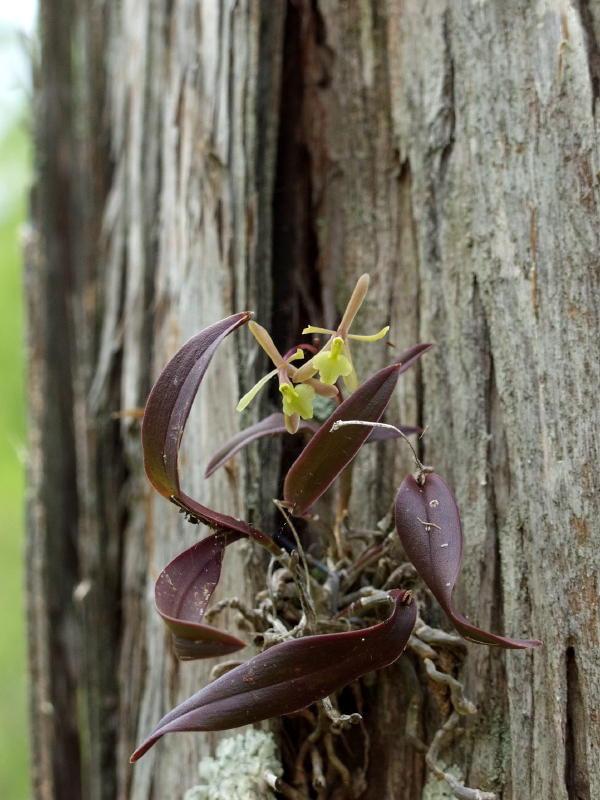 Rescued orchids on Bald Cypress tree