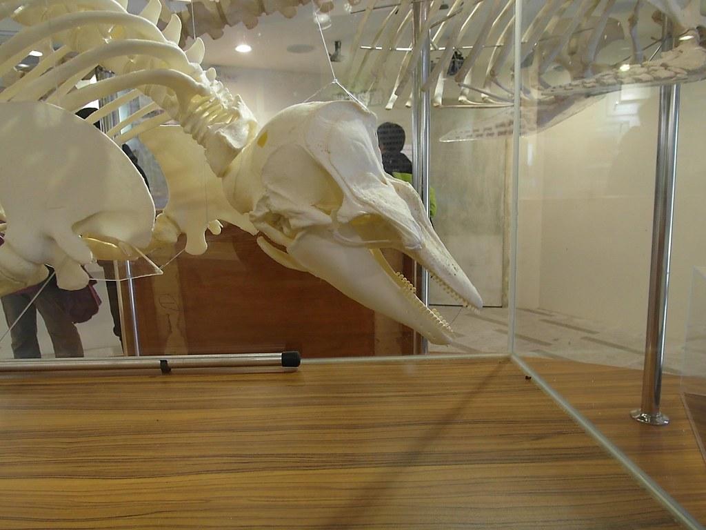 馬祖南竿漁業展示館所展出之鯨豚骨骼標本。圖為江豚的鏟型齒。(攝影:洪巧芸)