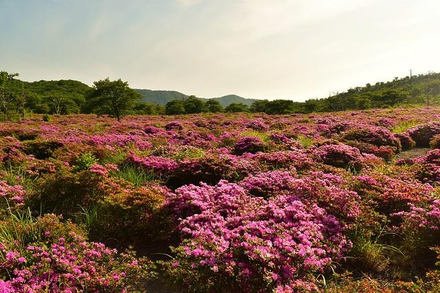 高千穂峰・鹿ヶ原 ミヤマキリシマのお花畑