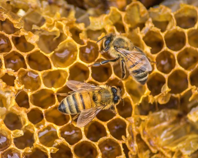 Bee, Bees, Honeybee, Honey Bee, Honeycomb, Macro