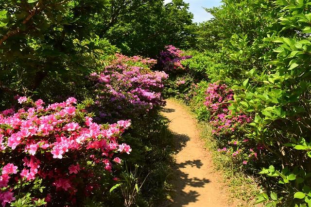 韓国岳 ミヤマキリシマに彩られた登山道
