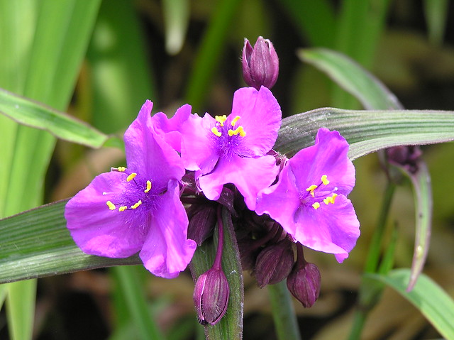 Tradescantia andersoniana 'Concord Grape'