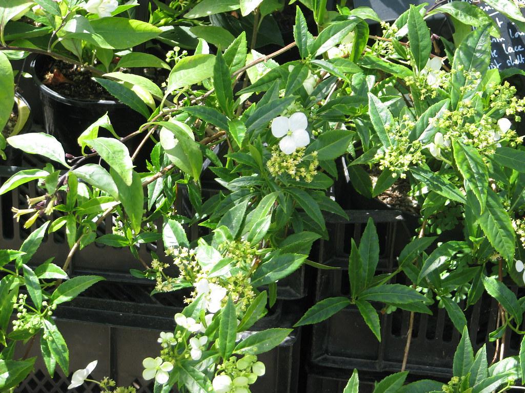 Hydrangea scandens chinensis formosana
