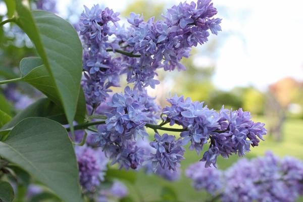 lilacs rochester ny